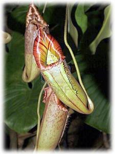 9837950-nepenthes--nepente-tropicale-o-tazze-monkey-trappole-insetti-in-tazze-di-acqua-e-quindi-digerisce-lo