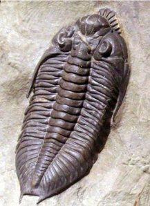 pennsylvania-trilobite
