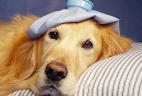 cane-malato